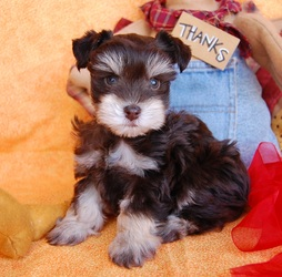 Miniature Toy Teacup Schnauzers For Sale Toy Teacup Miniature