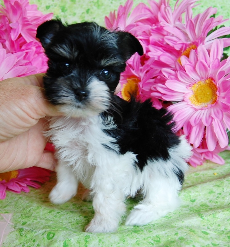 Miniature Toy Teacup Schnauzers for Sale | Toy Teacup Miniature
